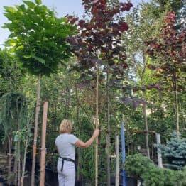Церцис канадський Форест Панси (Cercis canadensis Forest Pansy) ФОТО Розплідник рослин Природа (1)