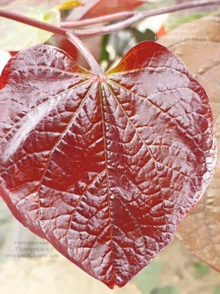 Церцис канадский Форест Панси (Cercis canadensis Forest Pansy) ФОТО Питомник растений Природа (3)