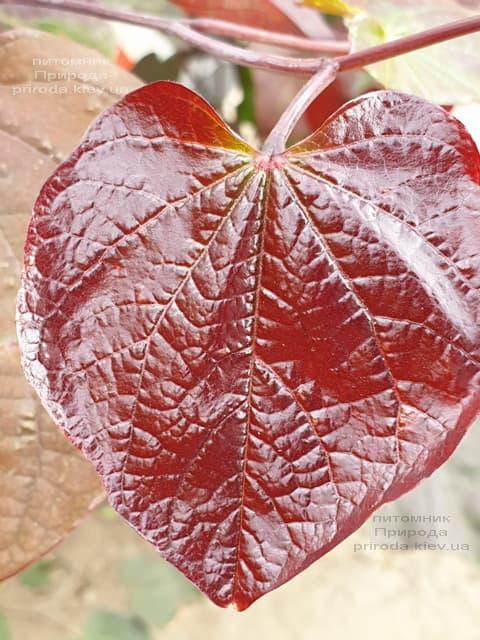 Церцис канадський Форест Панси (Cercis canadensis Forest Pansy) ФОТО Розплідник рослин Природа (4)