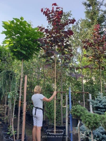 Церцис канадский Форест Панси (Cercis canadensis Forest Pansy) ФОТО Питомник растений Природа (1)