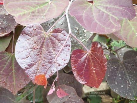 Церцис канадский Форест Панси (Cercis canadensis Forest Pansy) ФОТО Питомник растений Природа (5)