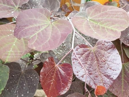 Церцис канадский Форест Панси (Cercis canadensis Forest Pansy) ФОТО Питомник растений Природа (6)