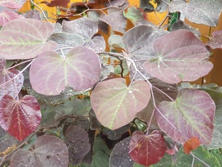 Церцис канадский Форест Панси (Cercis canadensis Forest Pansy) ФОТО Питомник растений Природа (7)