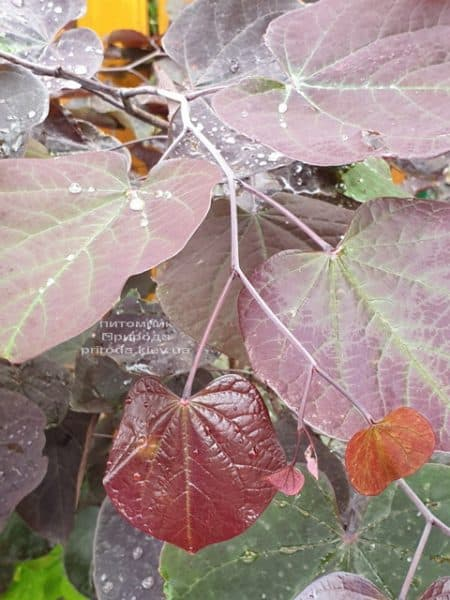 Церцис канадский Форест Панси (Cercis canadensis Forest Pansy) ФОТО Питомник растений Природа (8)