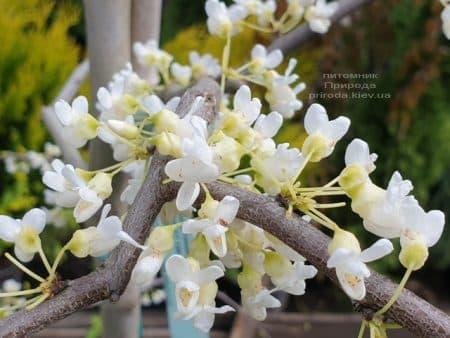 Церцис канадский Ванилла Твист (Cercis canadensis Vanilla Twist) ФОТО Питомник растений Природа (1)