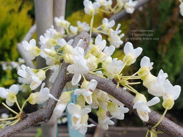 Церцис канадський Ванилла Твіст (Cercis canadensis Vanilla Twist) ФОТО Розплідник рослин Природа (1)