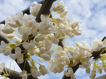 Церцис канадский Ванилла Твист (Cercis canadensis Vanilla Twist) ФОТО Питомник растений Природа (2)