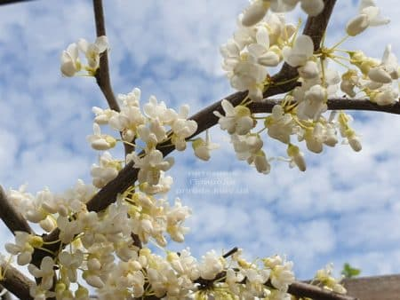 Церцис канадский Ванилла Твист (Cercis canadensis Vanilla Twist) ФОТО Питомник растений Природа (3)