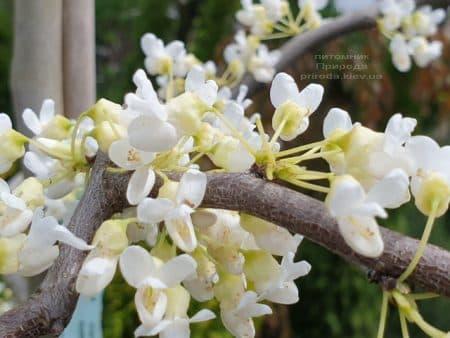Церцис канадский Ванилла Твист (Cercis canadensis Vanilla Twist) ФОТО Питомник растений Природа (4)