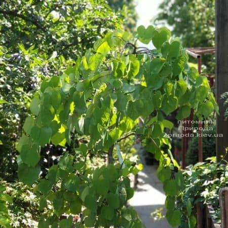 Церцис канадский Ванилла Твист (Cercis canadensis Vanilla Twist) ФОТО Питомник растений Природа (7)