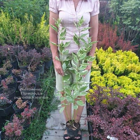 Дерен білий Елегантіссіма (Cornus alba Elegantissima) ФОТО Розплідник рослин Природа (10)