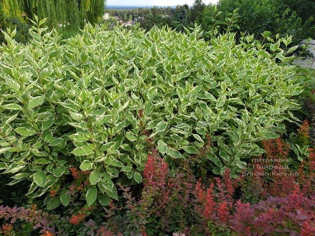 Дерен білий Елегантіссіма (Cornus alba Elegantissima) ФОТО Розплідник рослин Природа (13)