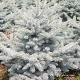Ель голубая Блю Диамонд (Picea pungens Blue Diamond) ФОТО Питомник растений Природа (22)