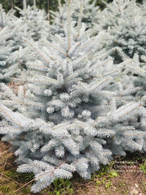 Ялина блакитна Блю Диамонд (Picea pungens Blue Diamond) ФОТО Розплідник рослин Природа (22)