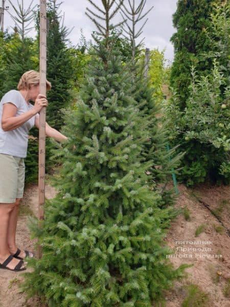 Ялина Сербська (Picea omorica) ФОТО Розплідник рослин Природа