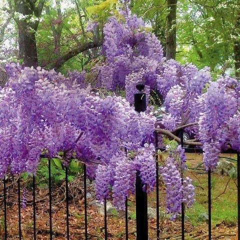 Гліцинія Блю Мун (Wisteria Blue Moon) ФОТО Розплідник рослин Природа (2)