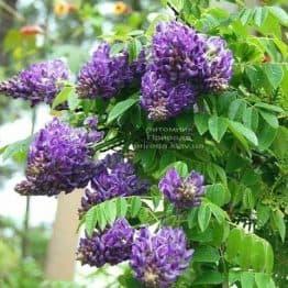 Гліцинія чагарникова Лонгвуд Перпл (Wisteria Frutescens Longwood Purple) ФОТО Розплідник рослин Природа (1)