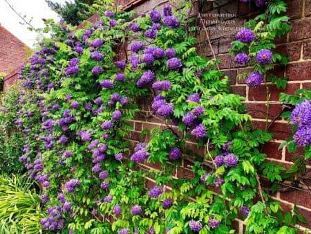 Глициния кустарниковая Лонгвуд Пэрпл (Wisteria Frutescens Longwood Purple) ФОТО Питомник растений Природа (2)