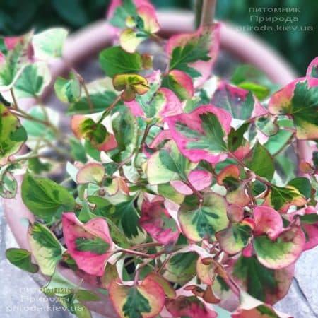 Хауттюйнія сердцевидная Хамелеон (Houttuynia cordata Chameleon) ФОТО Розплідник рослин Природа (4)