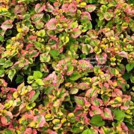 Хауттюйнія сердцевидная Хамелеон (Houttuynia cordata Chameleon) ФОТО Розплідник рослин Природа (5)