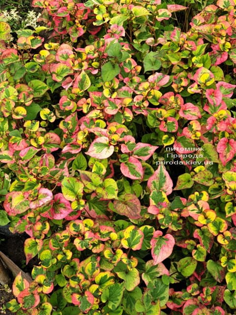 Хауттюйнія сердцевидная Хамелеон (Houttuynia cordata Chameleon) ФОТО Розплідник рослин Природа (6)