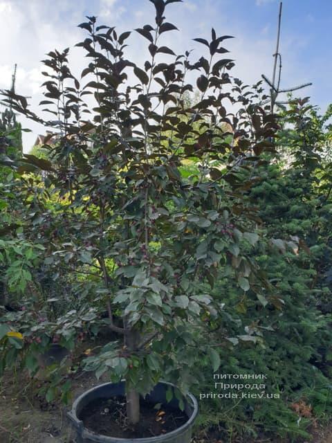 Яблоня декоративная Роялти (Malus Royalty) ФОТО Питомник растений Природа (16)