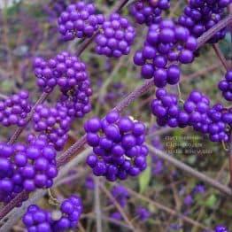Калікарпа Бодіньера Профьюжн Красівоплоднік (Callicarpa bodinieri) ФОТО Розплідник рослин Природа (1)