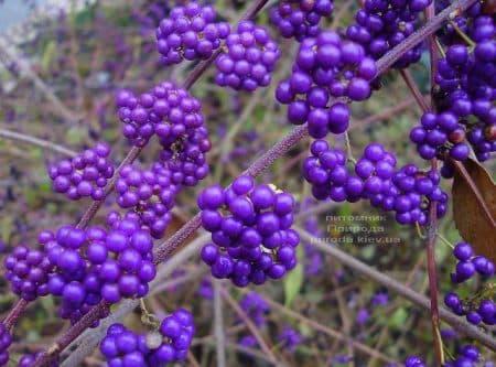 Каликарпа Бодиньера Профьюжн Красивоплодник (Callicarpa bodinieri) ФОТО Питомник растений Природа (1)