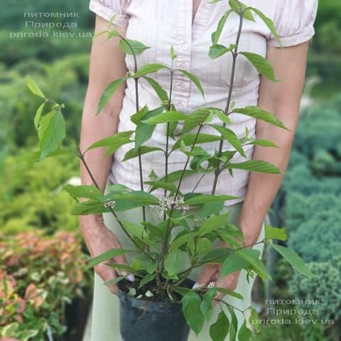 Калікарпа Бодіньера Профьюжн Красівоплоднік (Callicarpa bodinieri) ФОТО Розплідник рослин Природа (2)