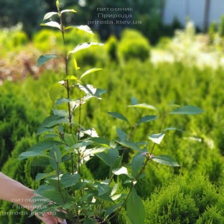 Каликарпа Бодиньера Профьюжн Красивоплодник (Callicarpa bodinieri) ФОТО Питомник растений Природа (3)