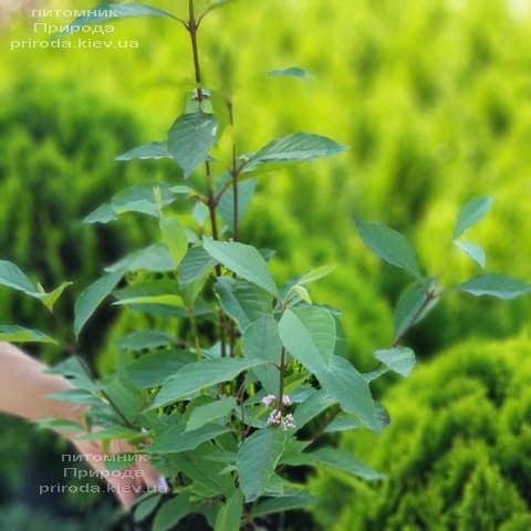 Каликарпа Бодиньера Профьюжн Красивоплодник (Callicarpa bodinieri) ФОТО Питомник растений Природа (4)