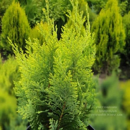 Кипарисовик Лавсона Алюмиголд (Chamaecyparis lawsoniana Alumigold) ФОТО Питомник растений Природа (5)