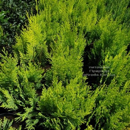 Кипарисовик Лавсона Алюмиголд (Chamaecyparis lawsoniana Alumigold) ФОТО Питомник растений Природа (6)