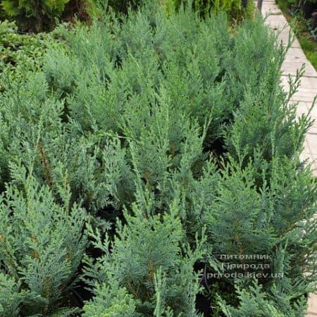 Кипарисовик Лавсона Колумнаріс (Chamaecyparis lawsoniana Columnaris) ФОТО Розплідник рослин Природа (11)