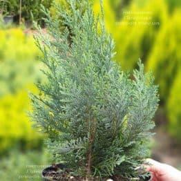 Кипарисовик Лавсона Колумнарис (Chamaecyparis lawsoniana Columnaris) ФОТО Питомник растений Природа (12)