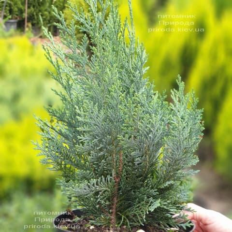 Кипарисовик Лавсона Колумнаріс (Chamaecyparis lawsoniana Columnaris) ФОТО Розплідник рослин Природа (12)