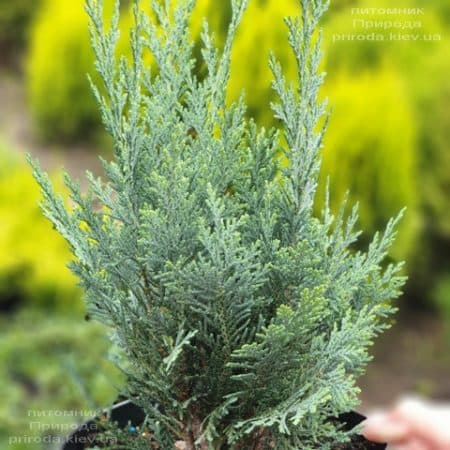 Кипарисовик Лавсона Колумнаріс (Chamaecyparis lawsoniana Columnaris) ФОТО Розплідник рослин Природа (13)