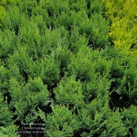 Кипарисовик Лавсона Вайт Спот (Chamaecyparis lawsoniana White Spot) ФОТО Питомник растений Природа (5)