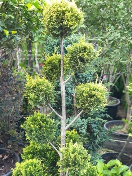 Кипарисовик Лейланда Помпон (Chamaecyparis Leylandii Pompon) ФОТО Розплідник рослин Природа (1)