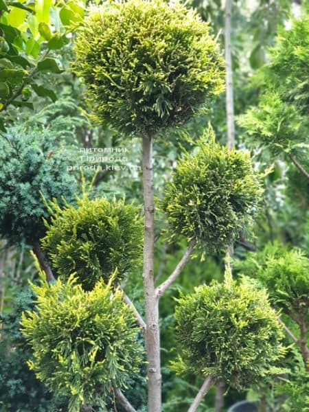 Кипарисовик Лейланда Помпон (Chamaecyparis Leylandii Pompon) ФОТО Розплідник рослин Природа (2)