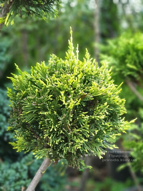 Кипарисовик Лейланда Помпон (Chamaecyparis Leylandii Pompon) ФОТО Розплідник рослин Природа (3)