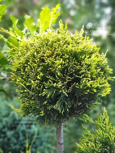 Кипарисовик Лейланда Помпон (Chamaecyparis Leylandii Pompon) ФОТО Питомник растений Природа (4)