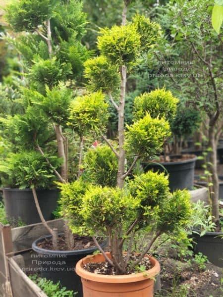 Кипарисовик Лейланда Помпон (Chamaecyparis Leylandii Pompon) ФОТО Розплідник рослин Природа (5)