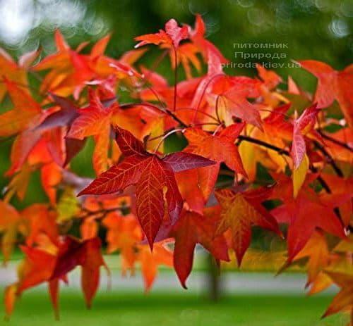 Ликвидамбар смолоносный (Liquidambar styraciflua) ФОТО Питомник растений Природа (4)