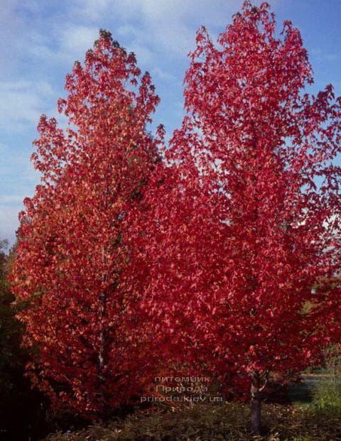 Ліквідамбар смолоносний (Liquidambar styraciflua) ФОТО Розплідник рослин Природа (5)