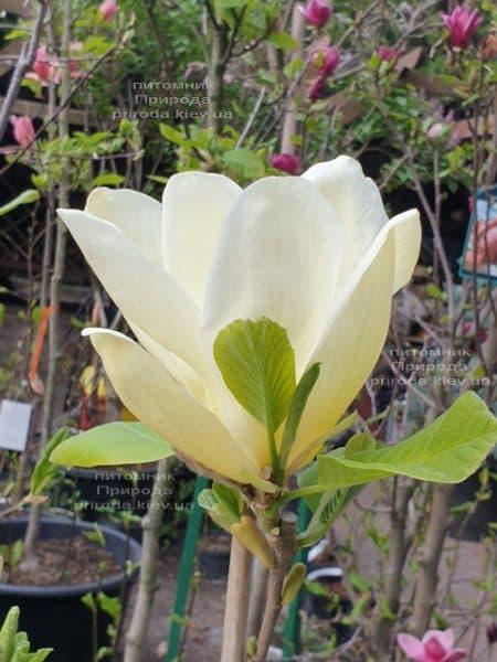Магнолия обнаженная Еллоу Ривер (Magnolia denudata Yellow River) ФОТО Питомник растений Природа (14)