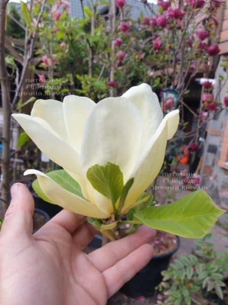 Магнолия обнаженная Еллоу Ривер (Magnolia denudata Yellow River) ФОТО Питомник растений Природа (9)
