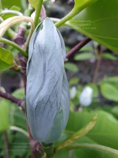 Магнолия Голубой Опал (Maqnolia acuminata Blue Opal) ФОТО Питомник растений Природа (28)