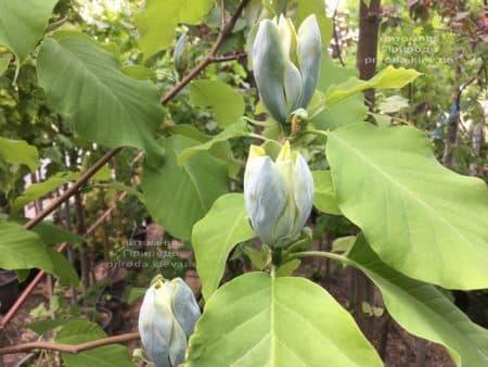 Магнолия Голубой Опал (Maqnolia acuminata Blue Opal) ФОТО Питомник растений Природа (34)