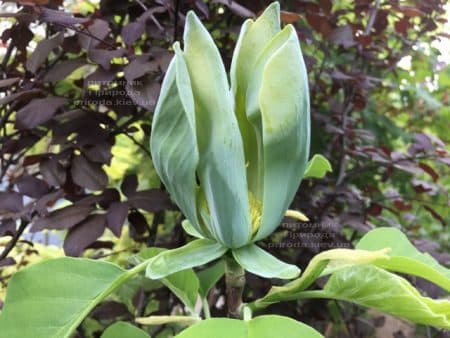Магнолия Голубой Опал (Maqnolia acuminata Blue Opal) ФОТО Питомник растений Природа (36)